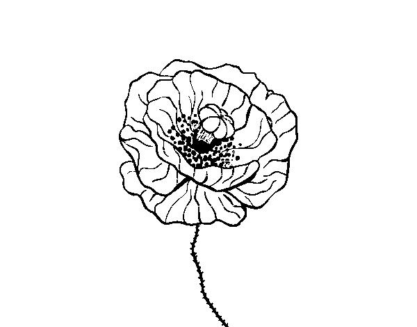 Disegno Di Rosa Con Foglie Da Colorare Acolore Com: Disegno Di Fiore Di Papavero Da Colorare