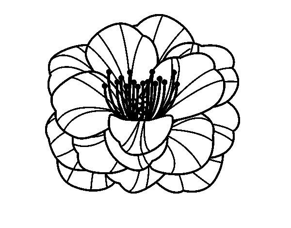 Disegno Di Rosa Con Foglie Da Colorare Acolore Com: Disegno Di Rosolaccio Da Colorare