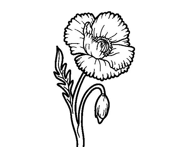 Disegno Di Rosa Con Foglie Da Colorare Acolore Com: Disegno Di Un Fiore Di Papavero Da Colorare